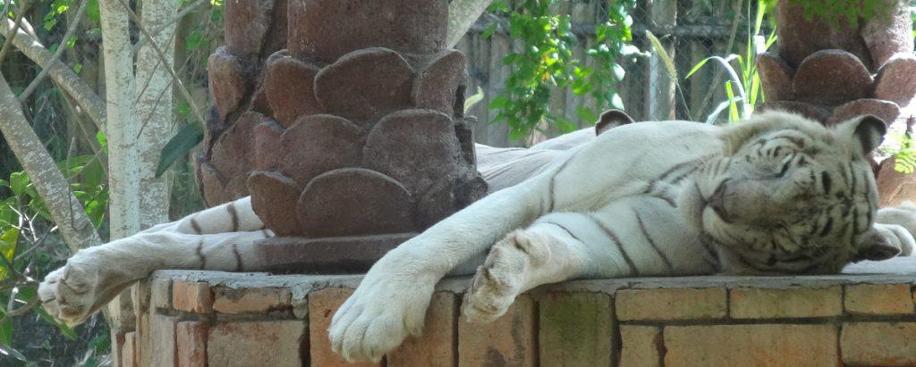 tiger bali